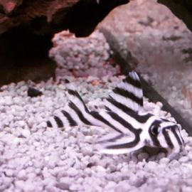 L046 Hypancistrus zebra - zebra pleco