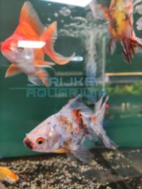 Carassius auratus - Ruykin goudvis