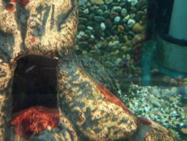 Hypostomus plecostomus / Pterygoplichthys pardalis - Pleco algeneter