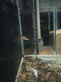 Semaprochilodus taeniurus - vlagstaart nachtzalm