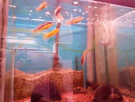 Melanochromis auratus - malawicichlide