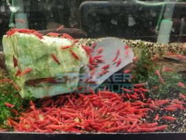 Neocaridina davidi /  heteropoda - fire red garnaal
