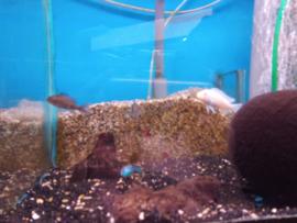 Haplochromis ahli - malawicichlide