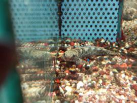 Channa quinquefasciata - slangekopvis / snakehead