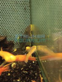 L081 Baryancistrus Golden Nugget -  Harnaswels Golden Nugget