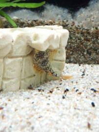 L014 Scobinancistrus aureatus - Goldy pleco S/m