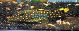 L018 Baryancistrus xanthellus  - Golden nugget