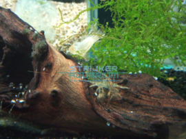 Atyopsis moluccensis - Waaierhand garnaal
