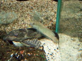 Channa gachua  - slangekopvis