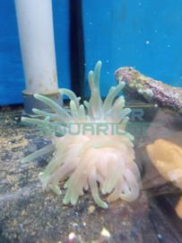 Condylactis gigantea (pinktip) - Pink-tip anemoon