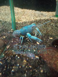 Procambarus alleni XL- blauwe florida XL kreeft