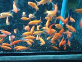 Carassius auratus - goudvis oranje