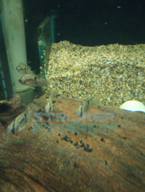 Aequidens maronii - Sleutelgatcichlide