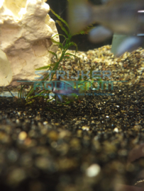 Microgeophagus ramirezi Blue Devil-  Blauw Antennebaarsje