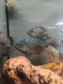 Herichthys cyanoguttatum - Texascichlide