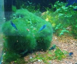 Caridina heteropoda - rili blue garnaal