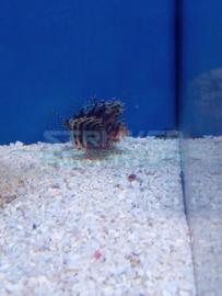 Dendrochirus brachypterus - (kleine) kortvin koraalduivel