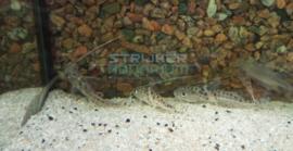 Pimelodus pictus - gevlekte antennemeerval