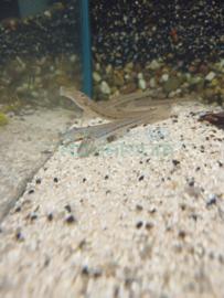 Acantopsis dialuzona - Paardenkopzandvis