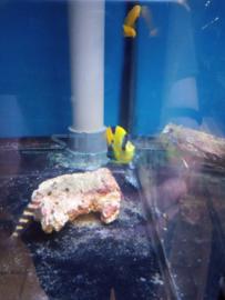 Centropyge bicolor - blauwgele dwergkeizer vis