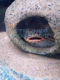 Liosomadoras oncinus - Jaguar  'catfish' meerval