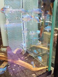 Microgeophagus ramirezi electric blue - dwergcichlide blue electric