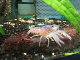 Procambarus alleni - blauwe florida kreeft