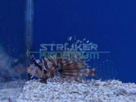 Pterois volitans - koraalduivel