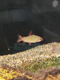 Distichodus affinis Lefini - Roodvin distichodus Congo zalm