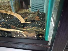 Hypostomus/ Cochliodon basiliko - red bruno pleco