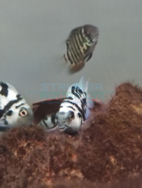 Cichlasoma sp. blue - Papegaaicichlide sp. blauw