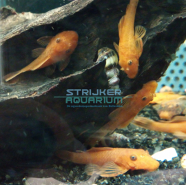 Ancistrus sp. super red - borstelneus algeneter
