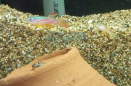 Aphyosemion striatum - killivis straalvinnige tandkarper