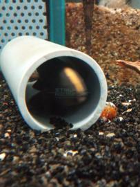 Apteronotus / Sternarchus albifrons - zwarte geest mesvis
