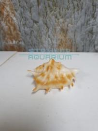 schelp oranje