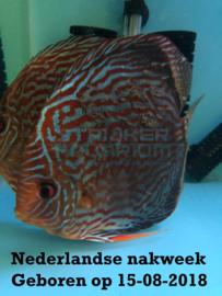 Discusvis Turquoise NL nakweek