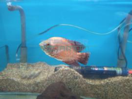 Astronotus ocellatus red oscar - Pauwoogcichlide red oscar
