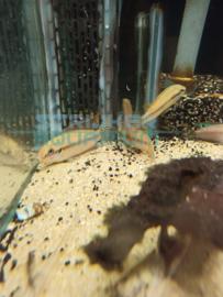 Pelvicachromis subocelatus matadi - Matadi dwergcichlide