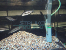 Dimidiochromis compressiceps - malawicichlide