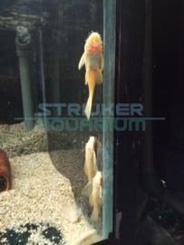 Ancistrus sp.  gold XL - borstelneus algeneter goud