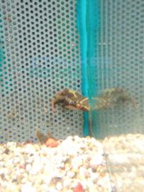 Carinotetraodon irrubesco - roodkamkogelvis