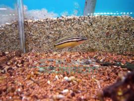 Julidochromis ornatus - tanganyka cichlide