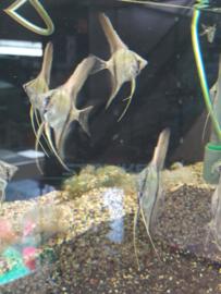 Pterophyllum scalare - Maanvis wildkleur
