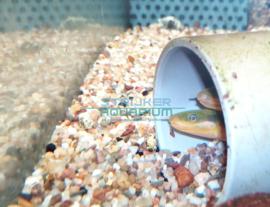Calamoichthys calabaricus - Wimpelaal