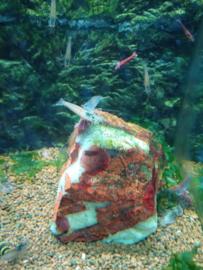 Caridina japonica - amanogarnalen