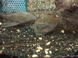 Gibbiceps / Plecostomus L