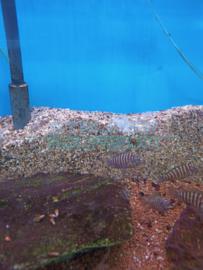 Tropheus moorii   - Tanganyika cichlide