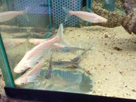 Pangasius sutchi/  Pangasianodon hypophthalmus - zoetwater haai albino