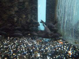 Carassius auratus zwart - goudvis zwart