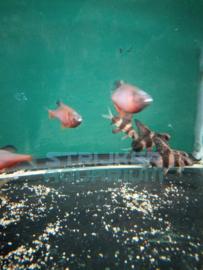 Sinorhodeus microlepsis - regenboog/bittervoorn china